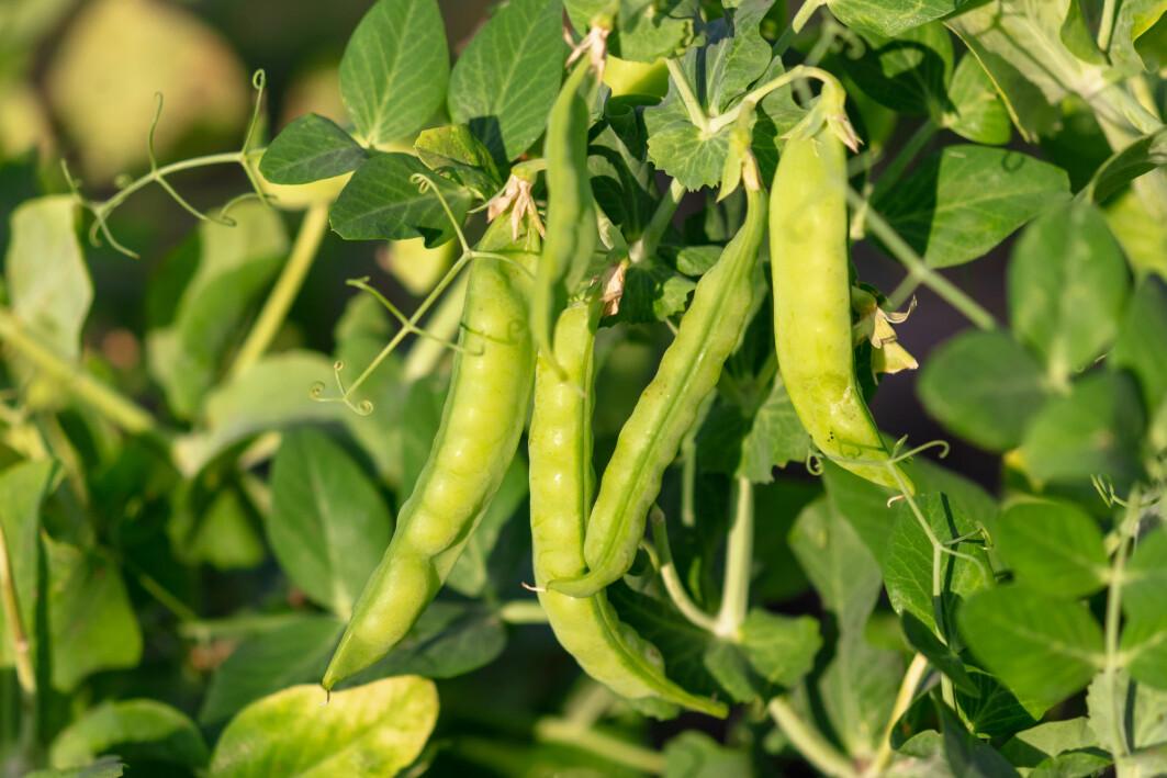 – Belgvekstane tek til seg nitrogen og bygger protein. Dei kan minske bruken av gjødsel i landbruket, sier professor Åsa Frostegård.