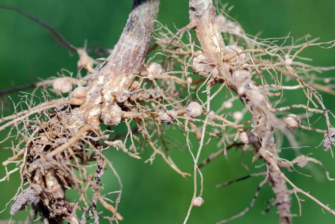 Rotknuter på en soyabønneplante. Nitrogenfikserende bakterier lever i disse.