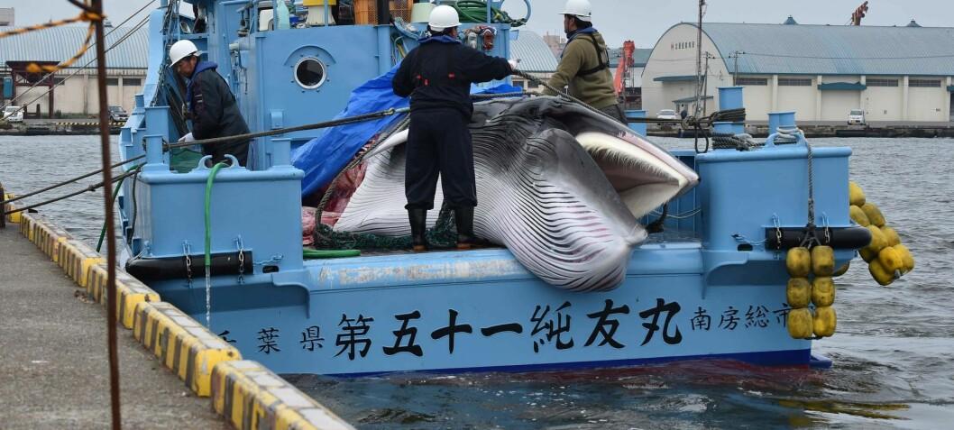 Norge slipper billigere unna hvalfangstkritikk enn «barbariske» Japan