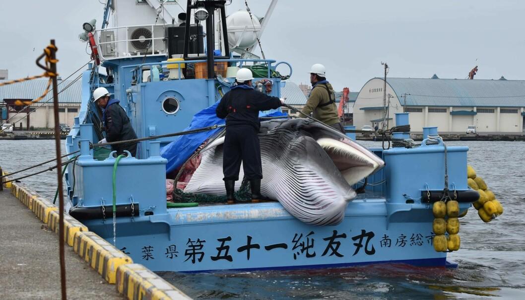 Japansk hvalfangst møter sterkere motstand enn norsk – ikke minst fordi avstanden er større mellom hvite europeiske og amerikanske hvalfangstmotstandere på den ene siden og japanere og japansk kultur og historie på den andre, ifølge den tsjekkiske forskeren Michal Kolmaš.