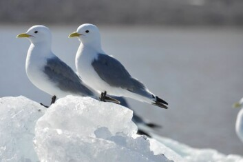 Krykkje. (Foto: Geir Wing Gabrielsen, Norsk polarinstitutt )