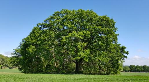 Forskere fant 92 nye arter i norske eiketrær