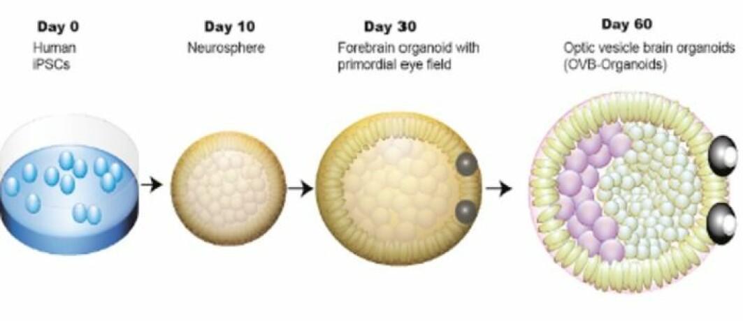 Her ser du hvordan mini-hjernene vokste på 60 dager. Fra stamcelle til mini-hjerne med øyne.