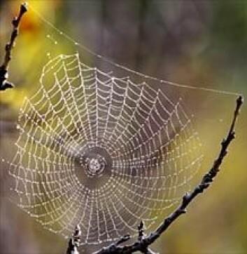 Hjulspinneredderkoppens nett, slik det ser ut på jorda. (Foto: Wikimedia Commons)