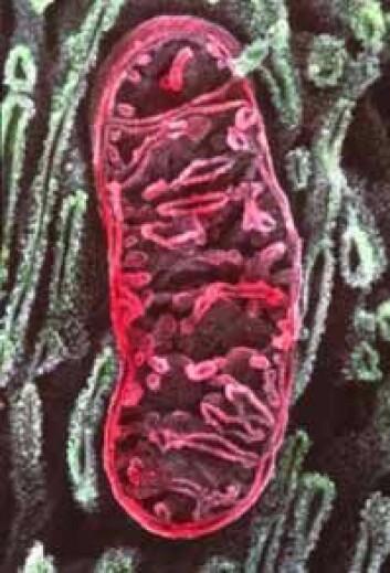 """""""Mitokondriene er gamle bakterier, nå en del av cellen."""""""