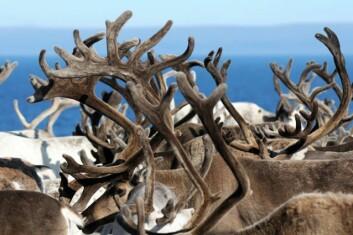 """Stor tetthet av rein på sommerbeite gir mindre dyr. Prosjektet """"Økosystem Finnmark"""" konkluderer også med at forvaltningen av reinnæringen er for kompleks."""