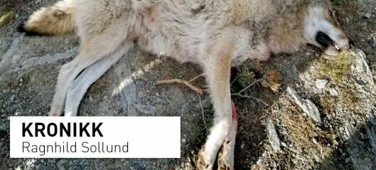 Norge skyter ulv ulovlig. Kan vi da forvente at andre land tar vare på sine truede arter?