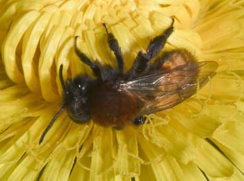 """"""" Andrena fulva er blant de vanlige biene som du kan finne i hagen. Evnen denne bien har til å bruke urbane miljøer og et bredt spekter av planter i matveien, kan gjøre at den forblir et vanlig innslag. Foto: Mike Edwards/Science."""""""
