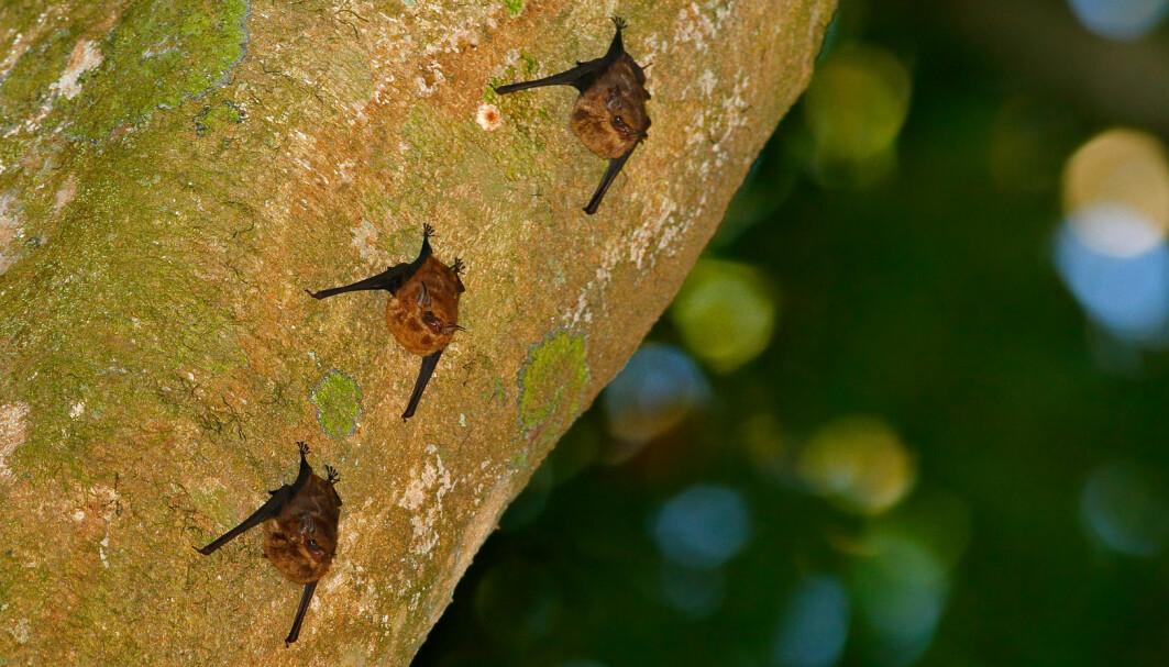En forsker har lyttet på opptak av flaggermus-unger. Hun forteller at lydene minner veldig om baby-babling.