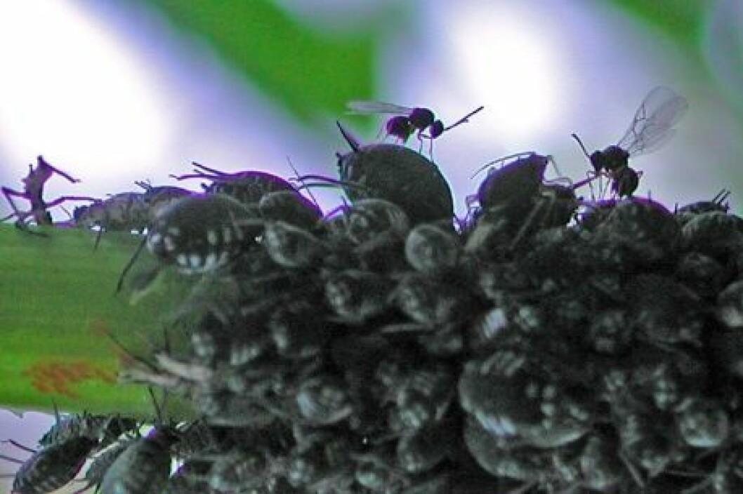 Noen snylteveps har spesialisert seg på andre snylteveps. Her er to slike hyperparasitter på jakt etter snyltevepslarver inne i hyllebladlus. Vanlige bladlusnylteveps har samme søkeatferd på bladlus, men vingemønsteret forteller at dette er hyperparasitter (familie Charipidae). (Foto: Nina Trandem)
