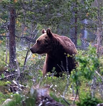 Brunbjørner født etter 1995 hadde lavere nivåer av resistente bakterier.