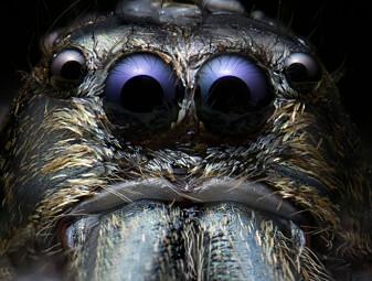 Hvorfor er noen så redd for edderkopper?