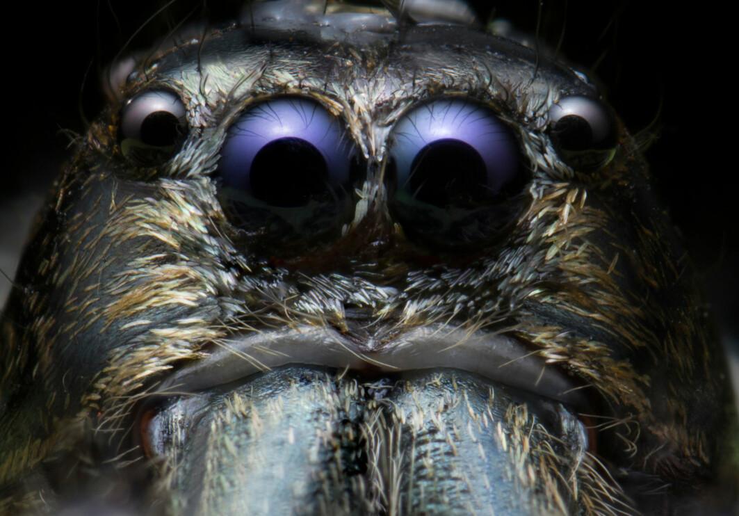 Portrett av en edderkopp. Dette er en hoppe-edderkopp som finnes ikke i Norge, men som lever i Thailand.
