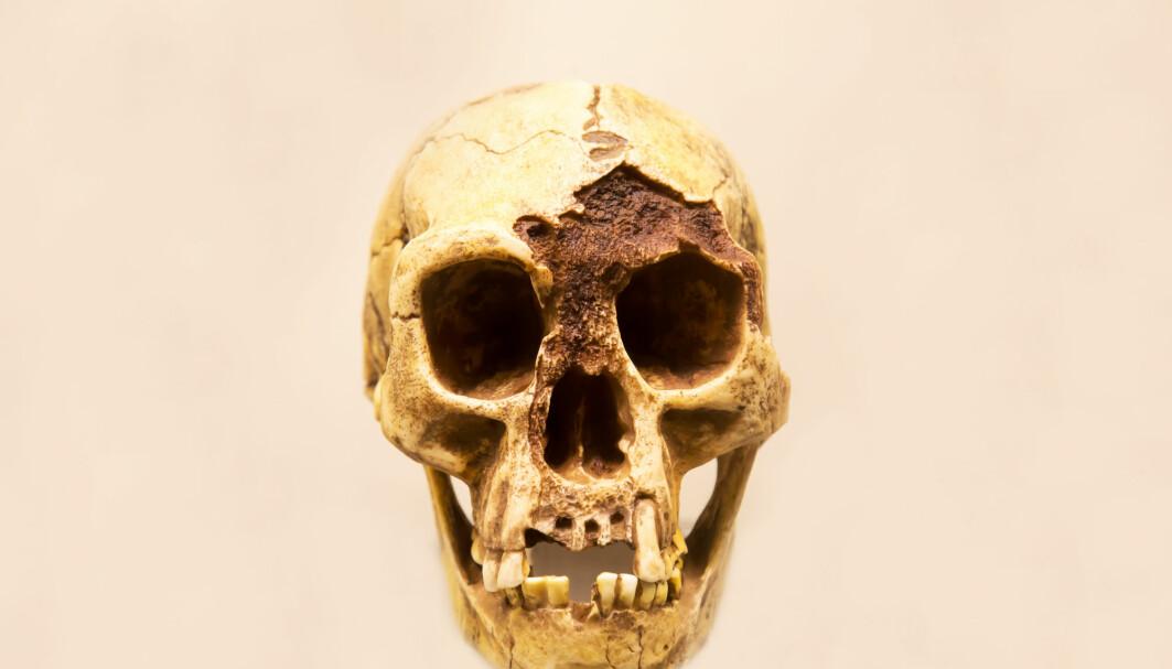 Forskere har undersøkt skallen til det omdiskuterte «hobbit-mennesket», Homo floresiensis. De mener kjeven var for svak til å tygge kraftige kjøttstykker.
