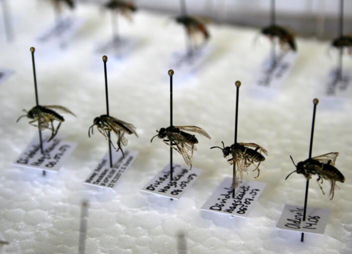 Insektssamlinger kan holde seg svært lenge dersom man tørker individene. Foto: Randi M. Solhaug