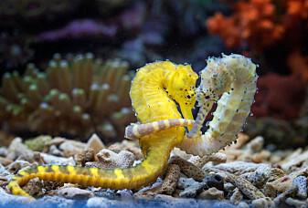 Hos sjøhestene er det hannen som føder ungene