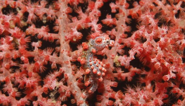 Sjøhesten ankrer seg fast til koraller og annet mens den venter på at maten kommer svømmende. Og den kan være rimelig godt kamuflert, som du ser. Eller ikke ser.