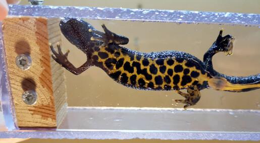 Utrydningstruede salamandere skal telles med app