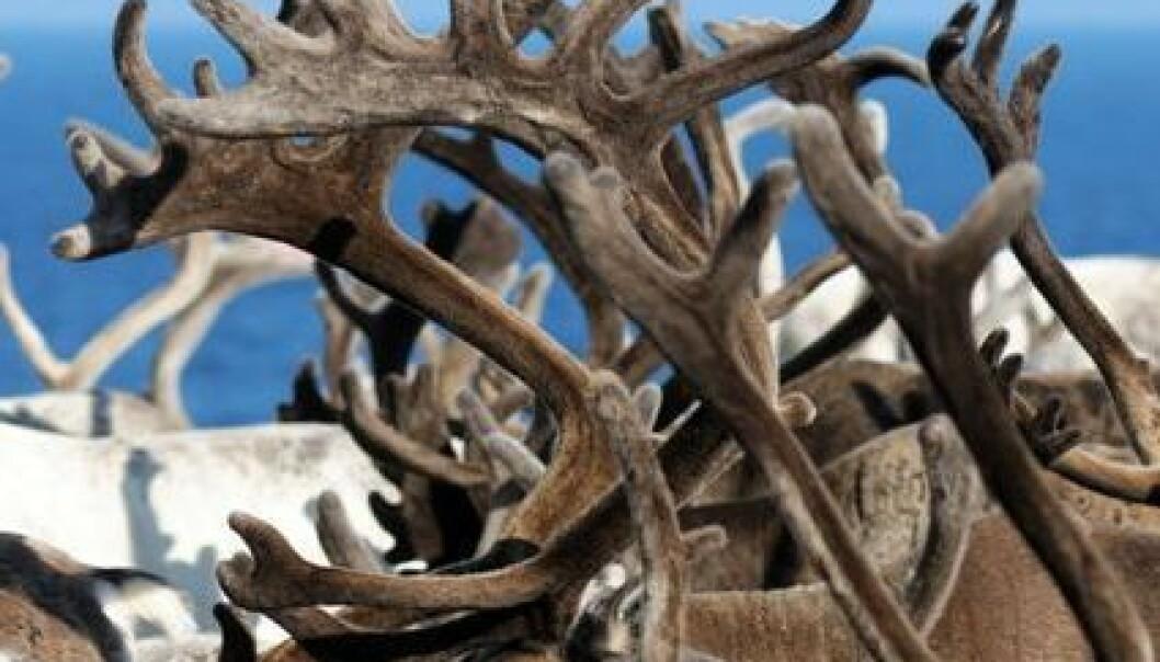 Stor tetthet av rein på sommerbeite gir mindre dyr. Økosystem Finnmark konkluderer også med at forvaltningen av reinnæringen er for kompleks.