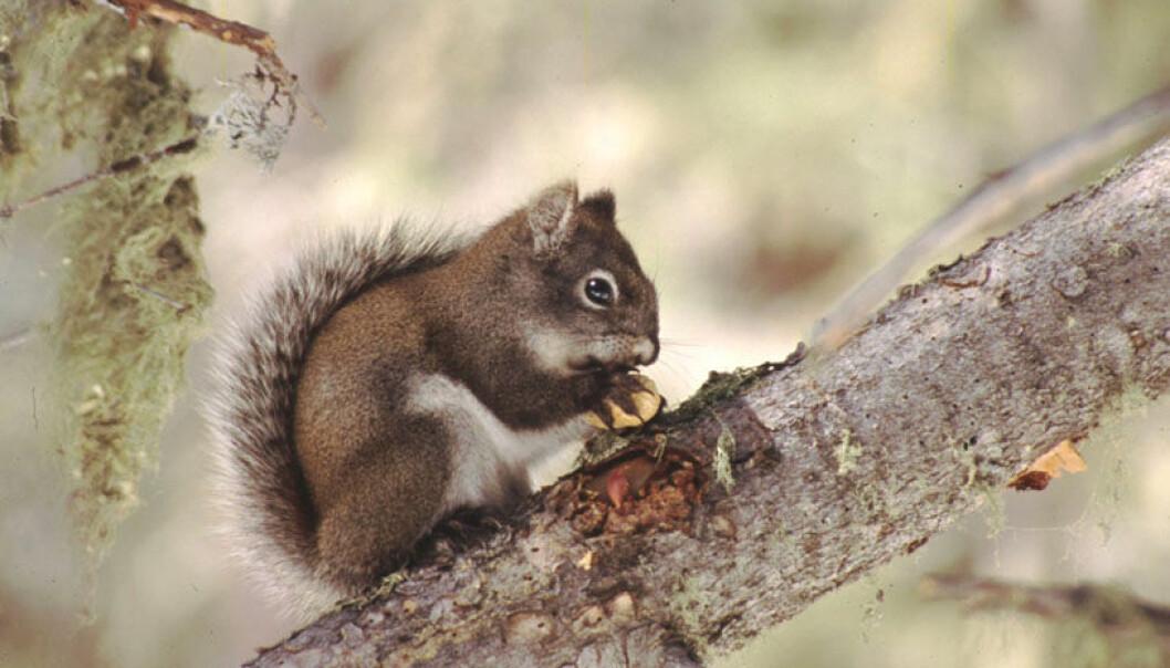 Sjeldent ekorn får mer eksperthjelp