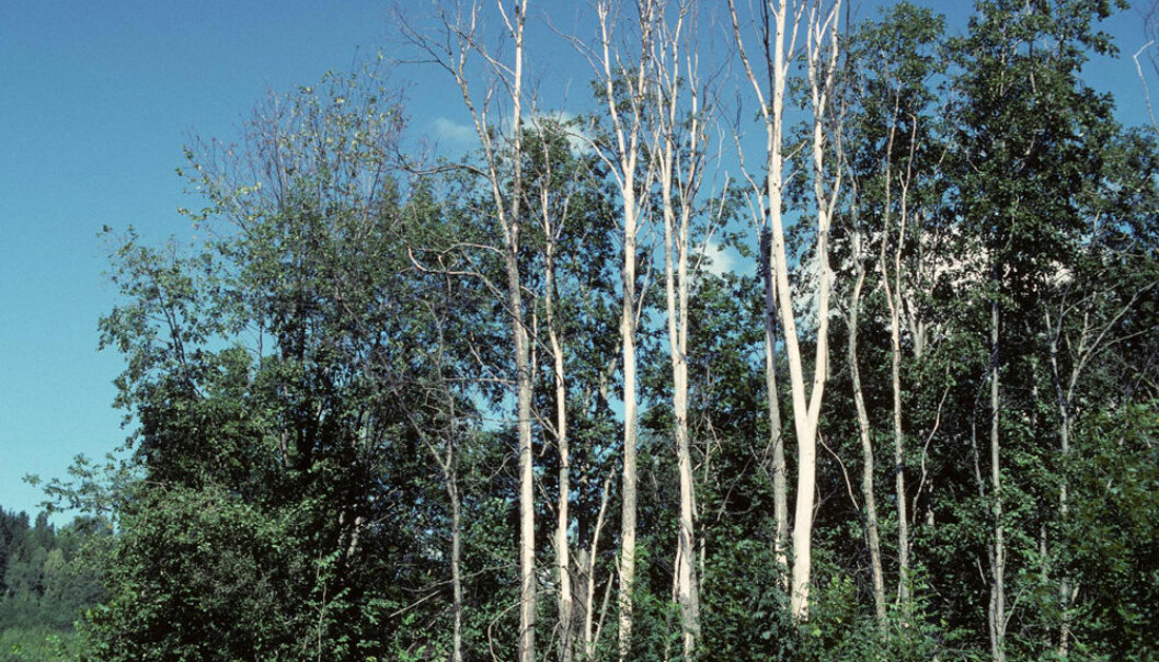 Trær drept av almesjuke.