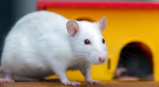 Forskere skjenket rotter fulle og fant ut hvorfor noen drikker overdrevent mye