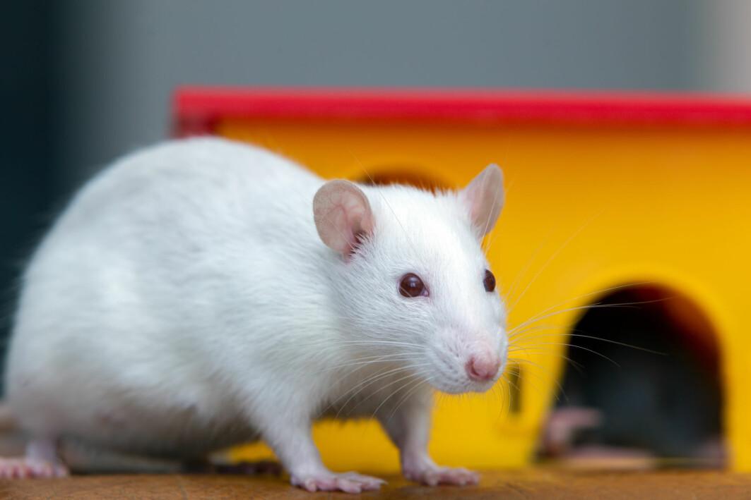 En liten gruppe nerveceller i hjernen avgjør om noen fortsetter å drikke, selv om det har negative konsekvenser, viser en ny studie på rotter.