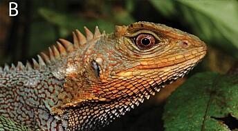 En ny art av fargerike og drage-lignende øgler er oppdaget i Peru