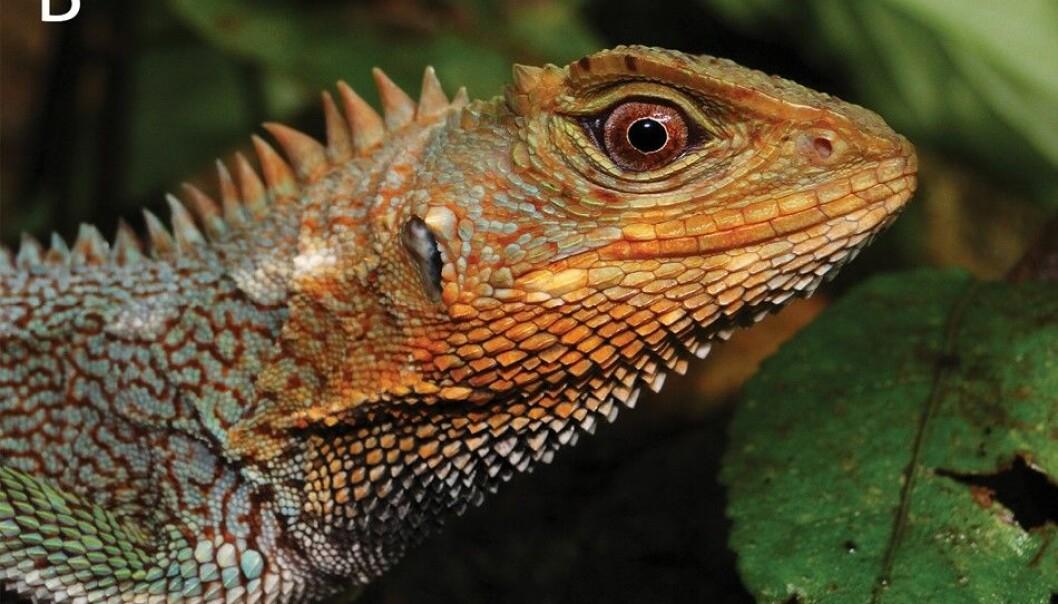 Nærbilde av en hann av arten Enyalioides feiruzae.