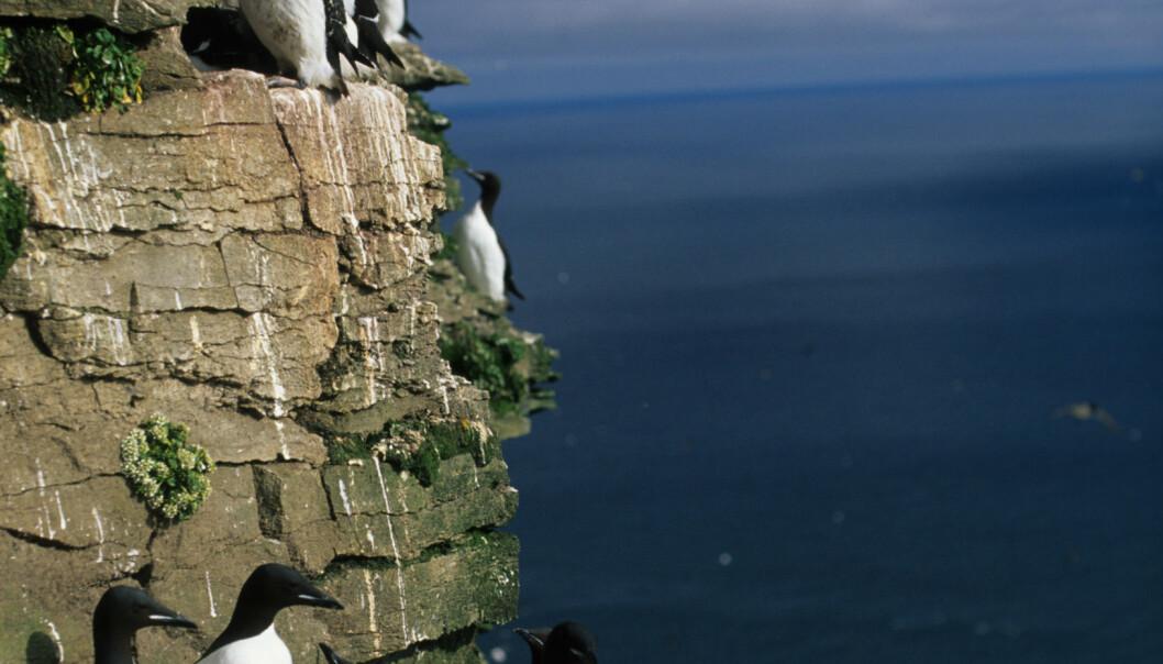 Polarlomvi på et av fuglefjellene på Bjørnøya.