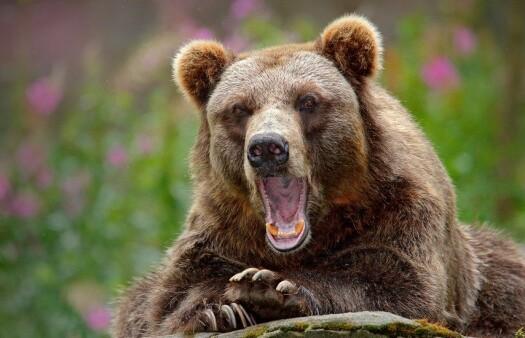 Human antibiotic use affects wild bears