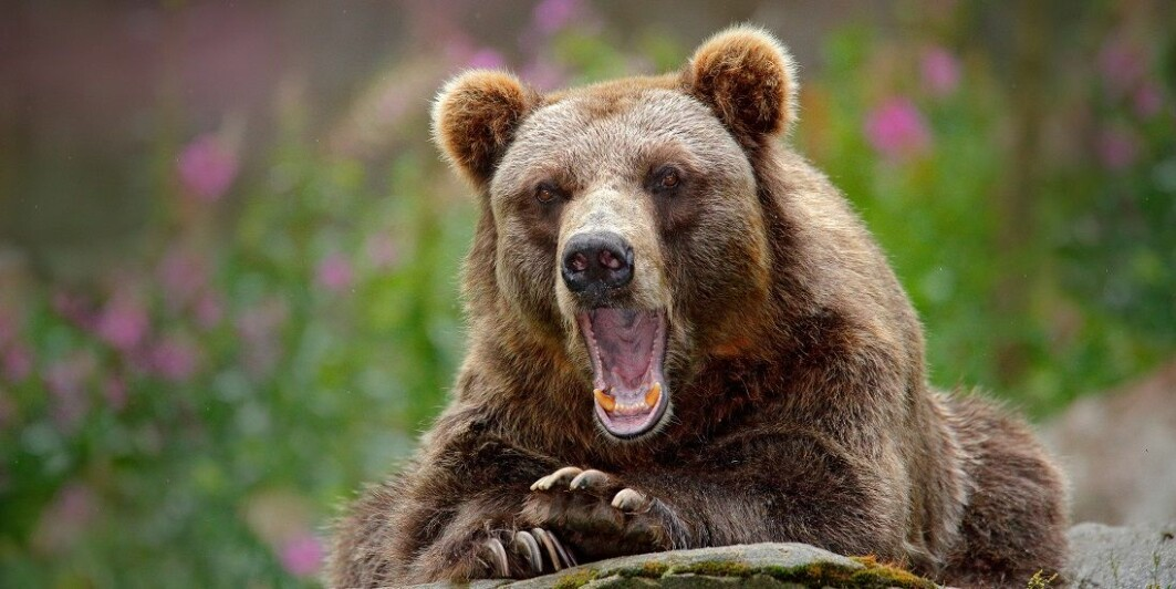 The research group found that human use of antibiotics also affected the bears' bacteria and their resistance to antibiotics.