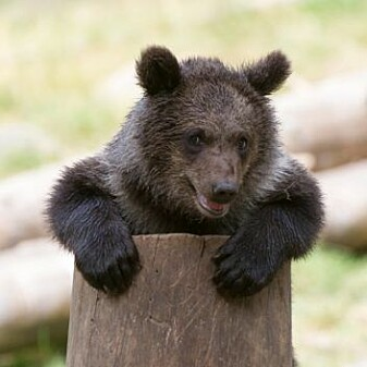 The fact that bacteria develop resistance to antibiotics is a big problem, for humans and for animals in the wild. That means it's smart for both bears and people for us to limit their use.