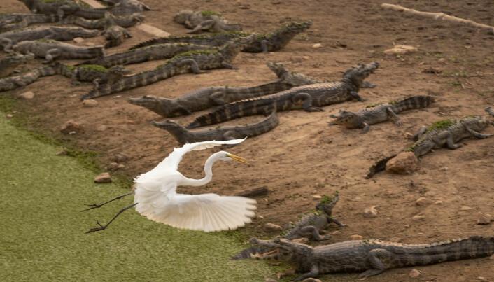 En hegre flyr over en gruppe kaimaner som ligger ved bredden av den nesten uttørkede elven Bento Gomes i Pantanal i Brasil. Pantanal er verdens største tropiske våtmarksområde og populært for dem som vil oppleve dyreliv. I 2020 var det unormalt tørt og rekord mange branner i regionen.