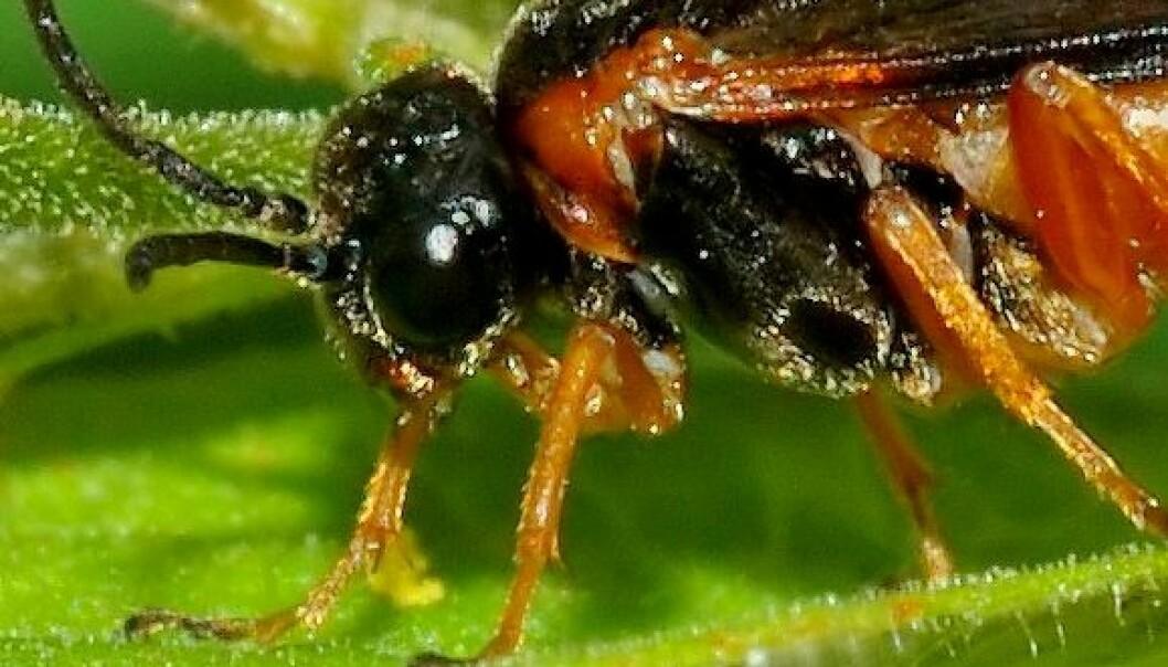 Bladveps av familien Tenthredinidae (Foto: André Karwath / Wikimedia Commons)