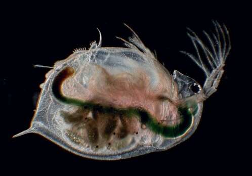 The water flea that Darwin couldn't explain