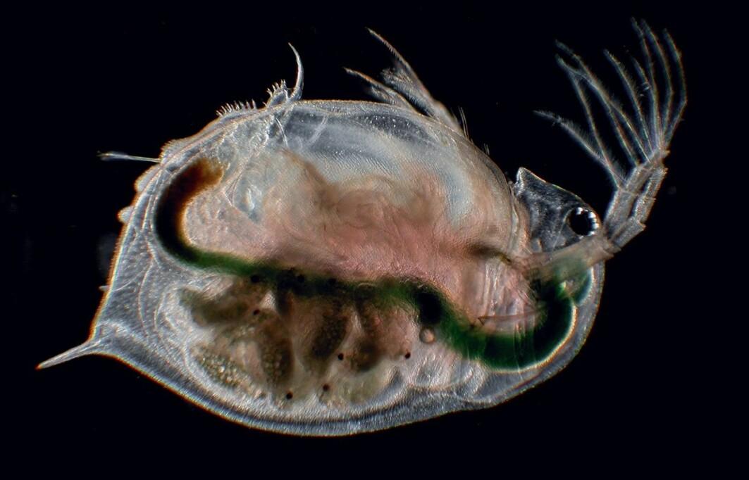 Selv fem individer av vannloppen Daphnia magna er nok til å bringe arten videre, viser ferske studier.