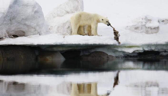 Siste norske Ig Nobel-vinnere var forskerne som i 2014 fikk utmerkelsen for å ha studert fluktadferd hos reinsdyr som ser mennesker forkledt som isbjørner. Det var imidlertid et klart mål med forskningen. En isbjørn med et reinsdyrkadaver nord på Svalbard.