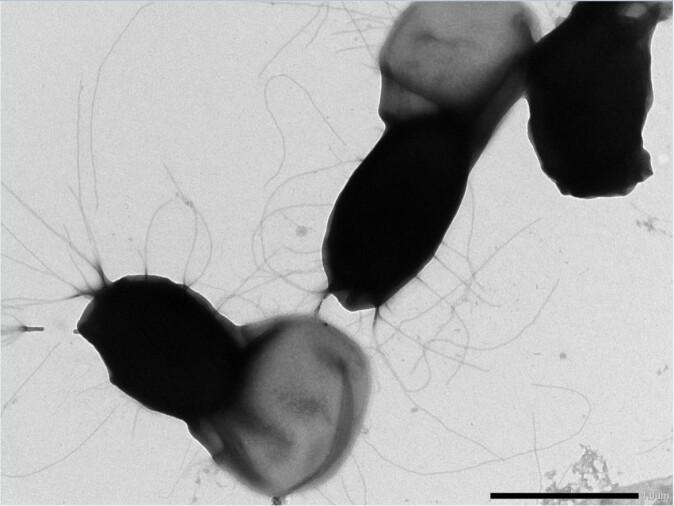 Bacillus cereus-sporer er problematiske for meieri-industrien siden de overlever varmebehandling og binder seg til rørsystemer og utstyr. Forskerne tror de lange trådene på sporeoverflaten hjelper sporene å feste seg til rustfritt stål og danne grunnlag for biofilm.