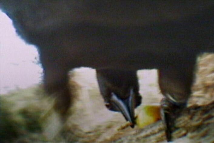 """""""Her har kråka fått tak i en liten larve etter å ha lurt den ut av hullet sitt med en kvist. Bildet er fra den delen av forsøket hvor noen av kråkene fikk påmontert et kamera. Se resten av videoen i bunnen av saken. (Foto: Behavioural Ecology Research Group, University of Oxford)"""""""
