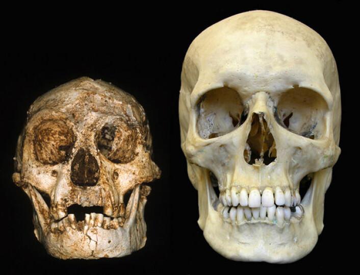 """""""Skallen av Homo floresiensis (til venstre) sammenlignet med skallen av et moderne menneske. (Foto: Professor Peter Brown, University of New England)"""""""