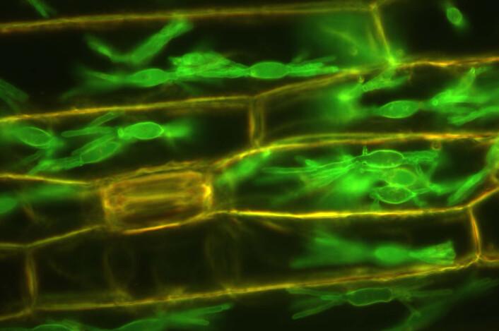 Plantecellene koloniseres av melduggsoppen som skrur av plantens gjenkjennelsesmekanismer og holder cellene i live så den kan ta opp næring, produsere flere sporer og spre seg til flere planter. (Foto: Science/AAAS)