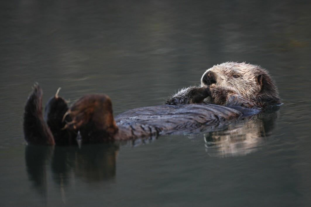 Havoteren ble jaktet hardt 1800-tallet, og var utrydningstruet i hele sitt leveområde, som er rundt det nordlige Stillehavet.