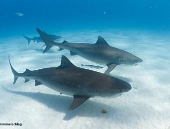 Selv tigerhaier liker noen bedre enn andre