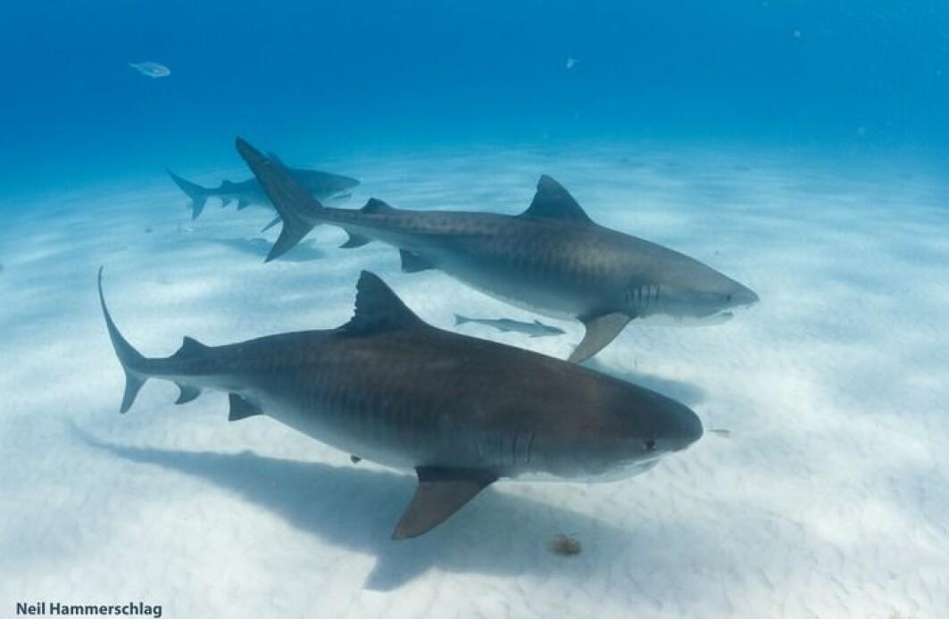 Tigerhaien er kanskje ikke så ensom som vi har trodd.