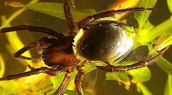 Edderkopp bruker luftboble som gjelle
