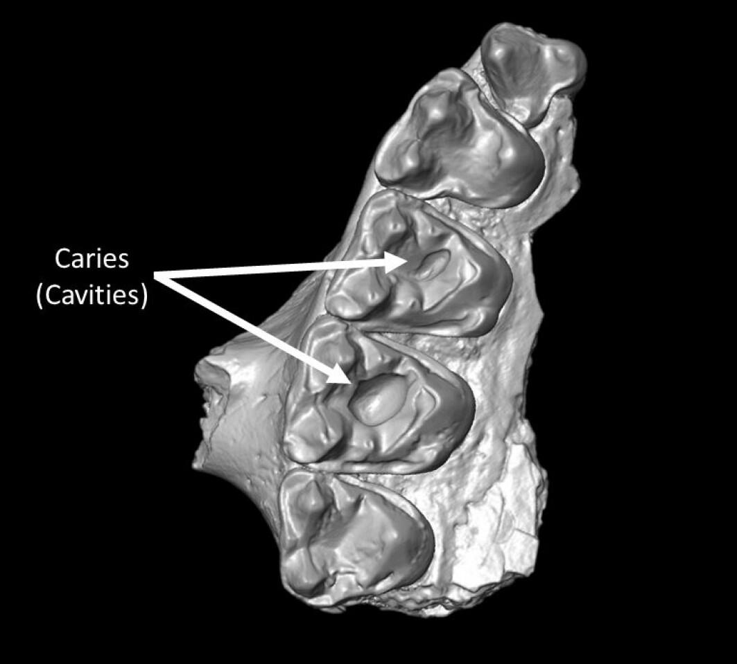 Her ser du en del av overkjeven til M. latidens. Pilene peker ut to hull.