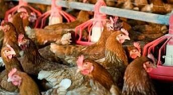 Transgene høns kan hindre epidemier