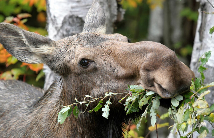 Moose appetite for deciduous trees counteracts warming effects