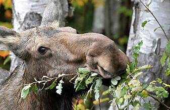 Kan elgen bli en klimahelt?